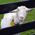 Eco-Goats taking over Polish Hill today. No kid-ding.